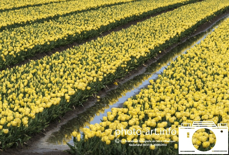 Tulip Holland tulip country, Tulp Nederland tulpen land