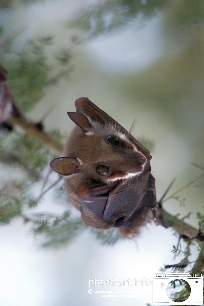 Tanzenia vleermuis in bppm / bad in treeE.J.Bruinekool Fotografie en Tekst Hilversum  Copyright company name mandatory