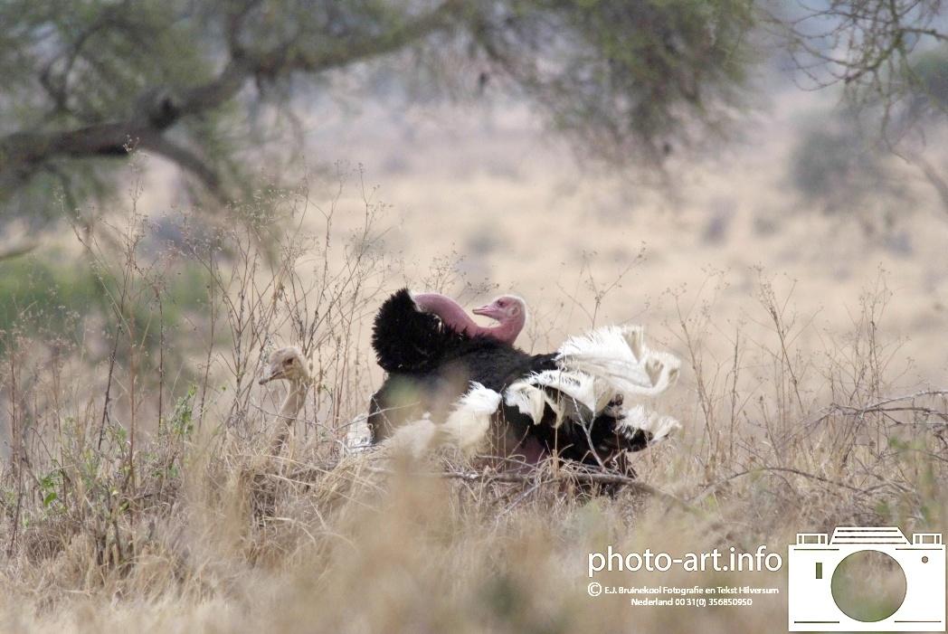 tanzenia tarangiri nationaal park struisvogel parend / tanzenia tarangiri National Park ostrich mating E.J.Bruinekool Fotografie en Tekst Hilversum  Copyright company name mandatory