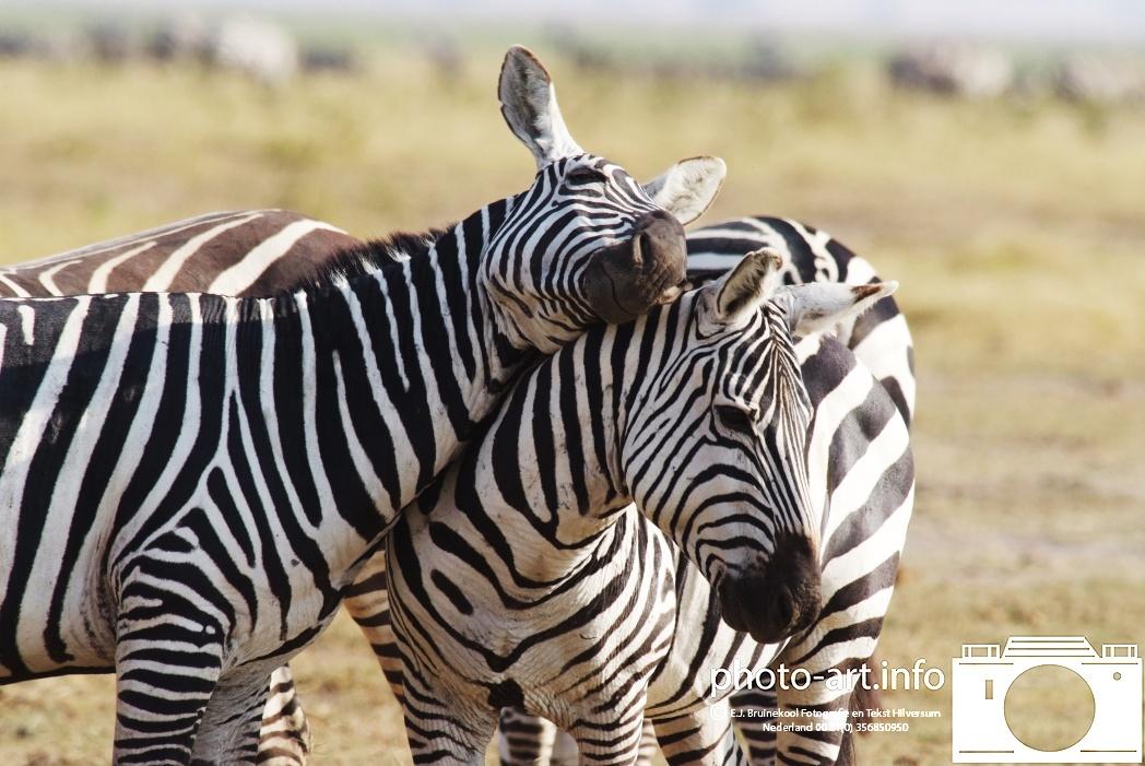 kenya amboseli naitionaal park safarie wildpark zebra  knuffelen liefkozen kopjes geven kenya amboseli national park safari wildlife park give zebras cuddling fondling cupsE.J.Bruinekool Fotografie Hilversum  Copyright naamsvermelding verplicht lid NVJ. , 1222lz,  Hilversum, Nederland, tel. 31(0)356850950, fax. 31 356479199 ol  E.J.Bruinekool Fotografie en Tekst Hilversum  Copyright company name mandatory