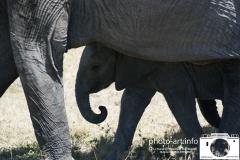 kenya Tanzenia serangeti masaimara  lake navaisha tarangira en ngorongoro krater en lake manjara olifant met jong. meer materiaal op stock uit afrika mensen dieren enzE.J.Bruinekool Fotografie Hilversum  Copyright naamsvermelding verplicht lid NVJ. V.Kr.Veenlaan 32, 1222lz,  Hilversum, Nederland, tel. 31(0)356850950, fax. 31 356479199 *** Local Caption *** info@ ejbruinekoolfotografie.com   www.ejbruinekoolfotografie.comLeveringsvoorwaarden Algemene Voorwaarden Fotografenfederatie gedeponeerd  bij de Arrondissementsrechtbankbank te Amsterdam nr 47003. Worden op verzoek toegezonden. U kunt ze direct vinden door door te linken naar de internetsite