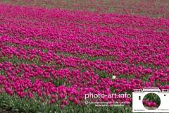 Tulip Holland tulip country, Tulp Nederland tulpen landE.J.Bruinekool Fotografie Hilversum  Copyright naamsvermelding verplicht lid NVJ. Berlagelaan 62, 1222JZ,  Hilversum, Nederland, tel. 31(0)356850950, fax. 31 356479199