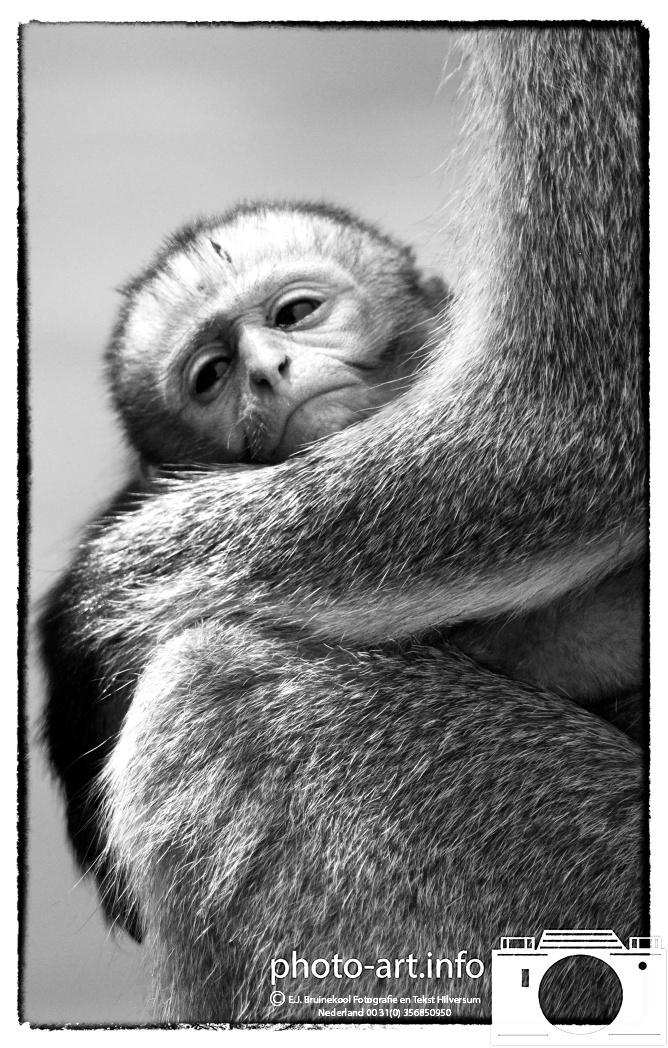 kenya amboseli naitionaal park safarie wildpark vervet monkey aap met zogende jongE.J.Bruinekool Fotografie Hilversum  Copyright naamsvermelding verplicht lid NVJ. V.Kr.Veenlaan 32, 1222lz,  Hilversum, Nederland, tel. 31(0)356850950, fax. 31 356479199 *** Local Caption *** info@ ejbruinekoolfotografie.com   www.ejbruinekoolfotografie.comLeveringsvoorwaarden Algemene Voorwaarden Fotografenfederatie gedeponeerd  bij de Arrondissementsrechtbankbank te Amsterdam nr 47003. Worden op verzoek toegezonden. U kunt ze direct vinden door door te linken naar de internetsite